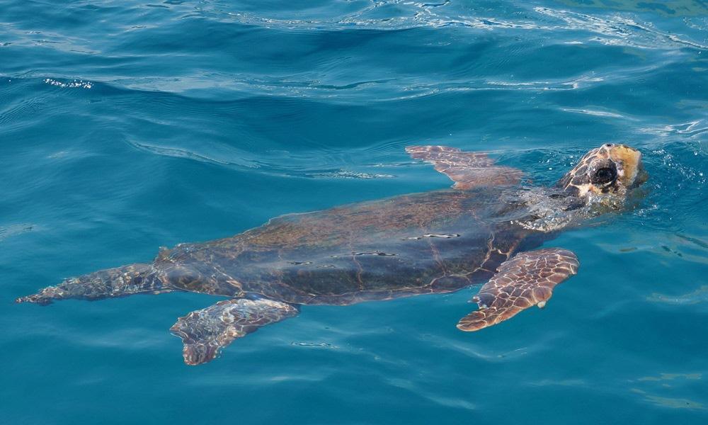 Zakynthos turtle spotting tour