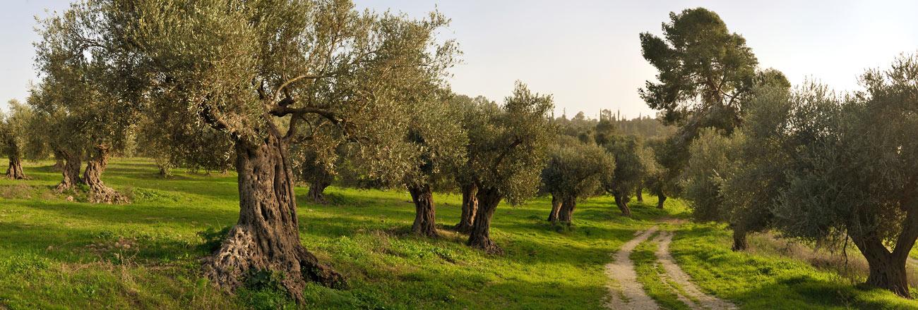 Zakynthos trees - Zakynthos fruits